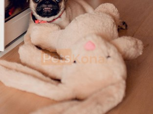 relaxed Pug Puppies