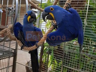 Tame Hyacinth Macaw Parrots and eggs for sale