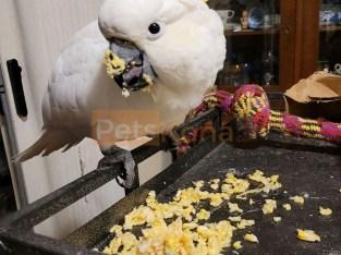 Cockatoos parrots