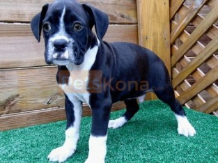 gleaming Boxer Puppies