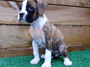 adaptable Boxer Puppies