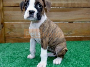 devoted Boxer Puppies