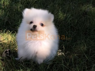 Cute Pomeranian Puppies For Sale!!!