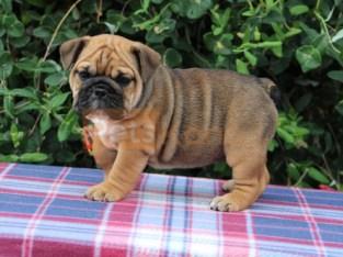 Quality English Bulldog pups