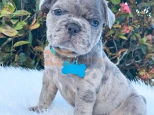 cute french bulldog puppies ready
