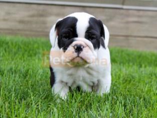 Beautiful AKC Red & White British Bulldog Puppies