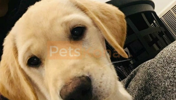 3 months old Male Labrador Retriever for sale