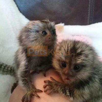 Marmoset Monkeys for adoption.super pedigree
