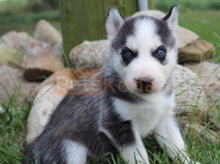Siberian Husky Puppies ready to go to forever homes