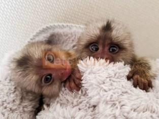 Marmoset Monkeys for sale (435) 515-0365).