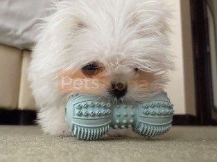 Maltese puppies available for sale with worldwide shipping