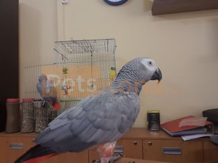 African gray parrot for sale