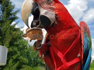 Macaw parrot available for new homes