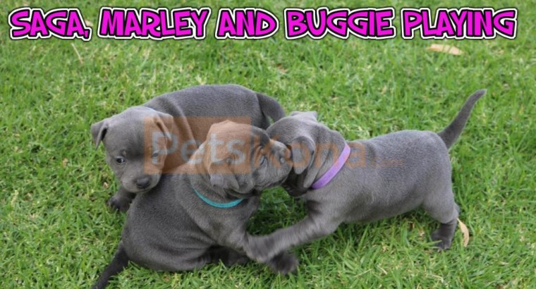 Stanfordshire Bull Terrier puppies for sale