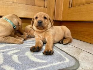Purebred KC Golden Labrador