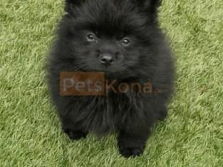 Fluffy cute Pomeranian puppies