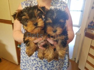 Adorable Yorkie Puppies Ready For Adoption