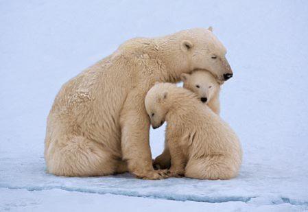 Image result for mama bear polar