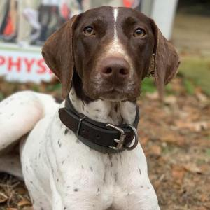 White German Shorthaired Pointer