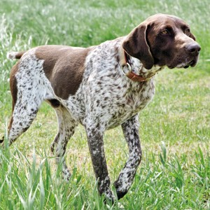 Liver Patches GSP