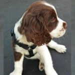 best dog harness for springer spaniel