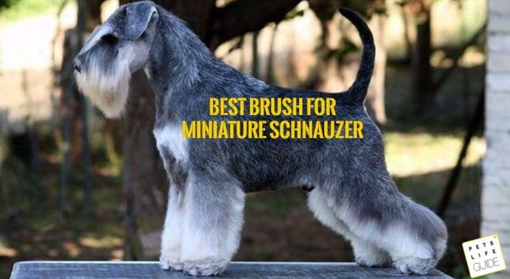 Grooming of mini schnauzer