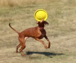 West Paw Zogoflex Durable Dog Frisbee