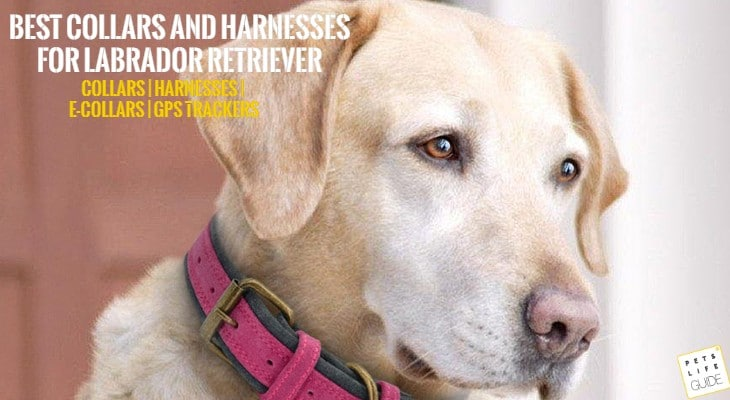 Best Collar for Labrador Retriever