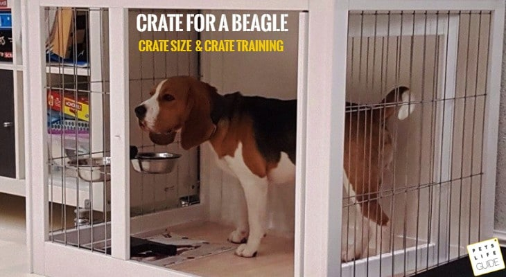 what crate size for a Beagle