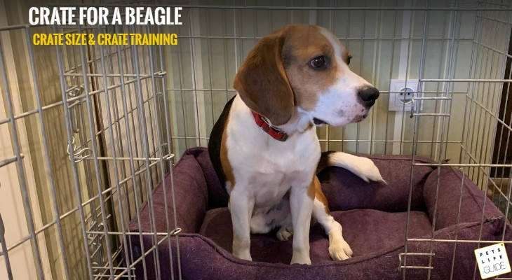 Best crate size for Beagle (1)Best crate size for Beagle