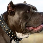 Best Pit Bull Dog Collar