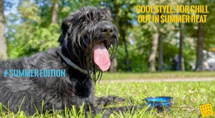 Cooling collar for schnauzer