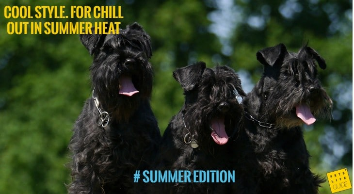 cooling collar for middle schnauzer