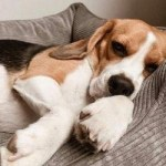 dog bed for beagle