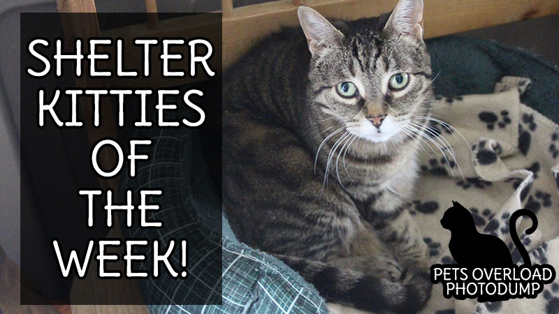 Shelter Kitties of The Week