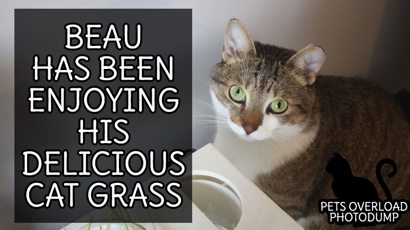 Beau Has Been Enjoying His Delicious Cat Grass
