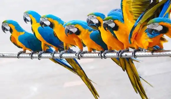 Small Pet Birds