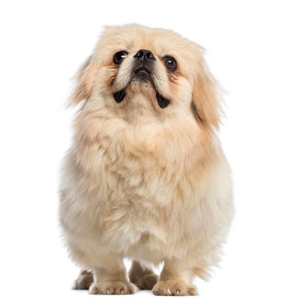 Вес пекинеса по месяцам таблица веса фото щенков от 1