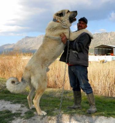 Собака алабай - фото, описание породы, характер и ...