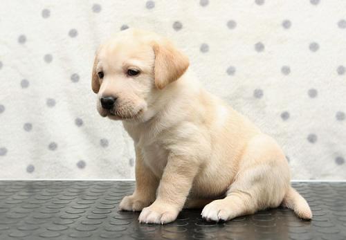 Фото лабрадора - щенки с 1 по 12 месяц, черные, палевые и ...