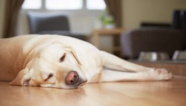 Dog Snoring: Causes Risks & Remedies