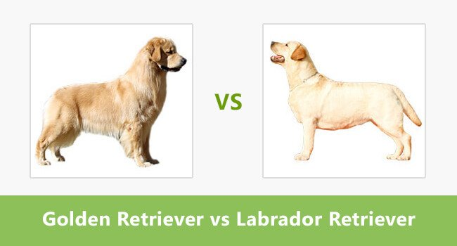 Golden Retriever vs. Labrador