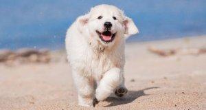 Obesity Disease in Golden Retriever Dogs