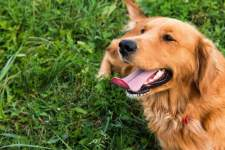 How To Stop Golden Retriever Barking