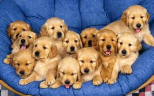 Things to Consider Before Buying a Golden Retriever Puppy