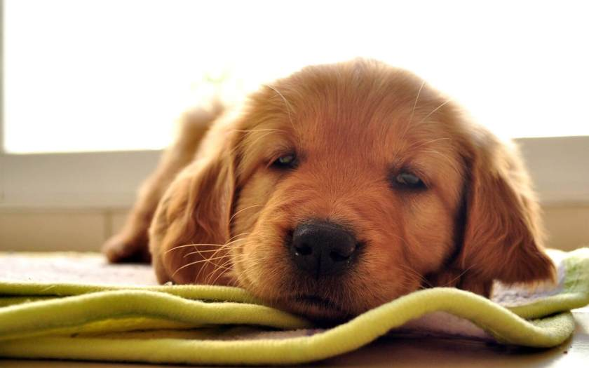 Tips for Adopting Golden Retriever