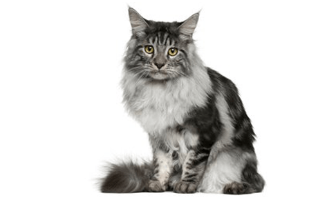 13 Cat Breeds Black And White Everything You Need To Know