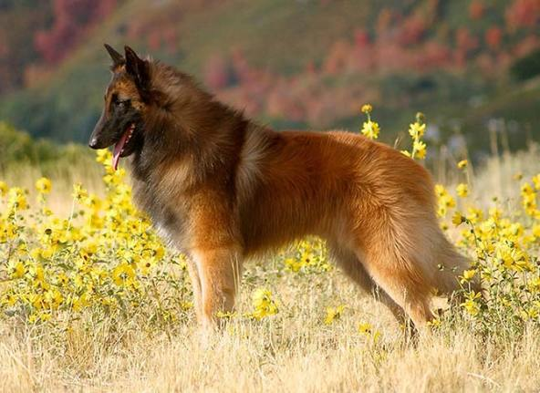 Belgian Tervuren  top 20 smartest dog breeds