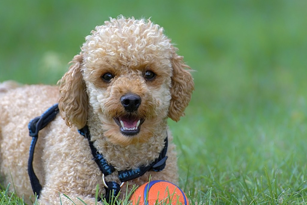 Poodle top 20 smartest dog breeds