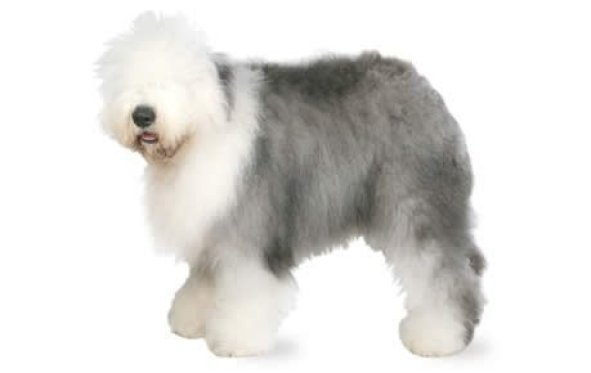 Old English Sheepdog top 20 smartest dog breeds